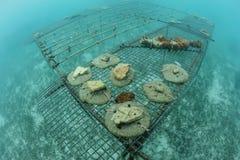 Coral Fragments Grown in de Caraïbische Zee royalty-vrije stock afbeeldingen