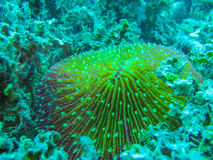 Coral, Fungia Royalty Free Stock Images