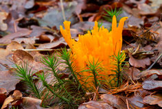 Coral fungus and moss Royalty Free Stock Photo