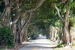 Coral Gables FL. An interesting street in the city of Coral Gables, FL bordered by banyans trees and tropical vegetation royalty free stock photography