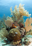 Coral garden. Coral reef off the coast of Roatan Honduras with brain coral and christmas tree worms Stock Image