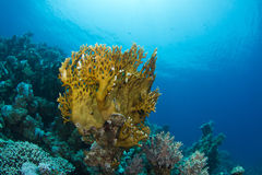 Coral Garden. A beautiful hard coral in the Red Sea stock photo