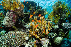 Coral Garden. Ras Mohammad Red Sea Sinay Egypt Royalty Free Stock Images