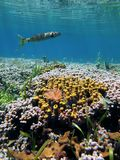 Coral garden and barracuda Royalty Free Stock Photo