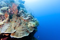 Coral garden Indonesia Stock Photography