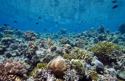 Coral garden Indonesia Stock Images