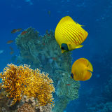 Coral garden with marine life above. Underwater scenery abstract coral garden and yellow butterfly fish royalty free stock photography