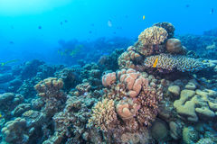 Coral garden Royalty Free Stock Image