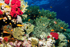 Coral garden in the red sea. A Coral garden in the red sea stock images