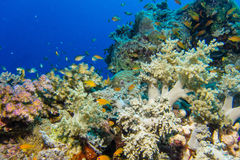 Coral garden in the red sea. A Coral garden in the red sea stock photo
