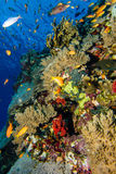 Coral garden in the red sea. A Coral garden in the red sea stock photos