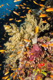 Coral garden in the red sea Stock Images