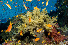 Coral garden in the red sea. A Coral garden in the red sea Royalty Free Stock Photos