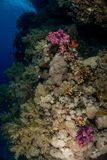 Coral garden in the red sea. In egypt stock image