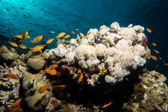 Coral garden in the red sea. In egypt stock images