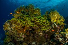 Coral garden in the red sea. In egypt royalty free stock photo