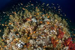 Coral garden in the red sea. In egypt stock photo