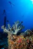 Coral garden in the red sea. In egypt around numidia stock photography