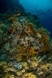 Coral garden in the red sea. In egypt royalty free stock images
