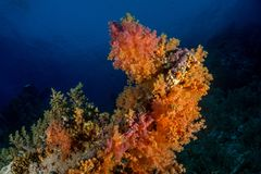 Coral garden in the red sea. In egypt royalty free stock photos