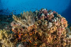 Coral garden in the red sea. In egypt stock photography
