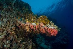 Coral garden in the red sea. In egypt royalty free stock image