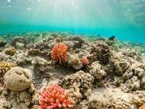 Coral garden in red sea, Marsa Alam, Egypt. Beautiful colorful coral garden in red sea with fantastic shapes and colors with fish, Marsa Alam, Egypt Stock Photos