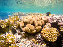 Coral garden in red sea, Marsa Alam, Egypt. Beautiful colorful coral garden in red sea with fantastic shapes and colors with fish, Marsa Alam, Egypt royalty free stock photo