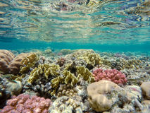Coral garden in red sea, Marsa Alam, Egypt. Beautiful colorful coral garden in red sea with fantastic shapes and colors with fish, Marsa Alam, Egypt royalty free stock photos