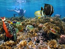 Coral garden snorkeling. Man underwater snorkeling in a coral reef with colorful tropical fish Stock Image