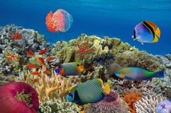 Coral garden with starfish and colorful tropical fish. Red Sea Stock Images