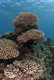 Coral Garden Underwater - Corals Tower Royalty Free Stock Image