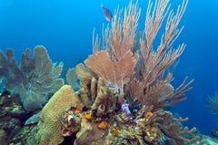 Coral gardens. Coral reef off the coast of Roatan honduras Royalty Free Stock Photos