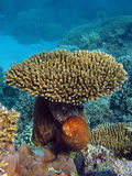 Coral gardens. Brain coral, staghorn coral Stock Photos