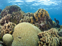 Coral gardens with brain coral. Underwater Coral gardens off the coast of Roatan Honduras Royalty Free Stock Photo