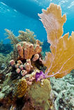 Coral Gardens, Honduras Royalty Free Stock Photo
