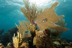 Coral Gardens, Honduras. Coral gardens off the coast of Roatan Honduras banded butterflyfish (Chaetodon striatus Royalty Free Stock Photo