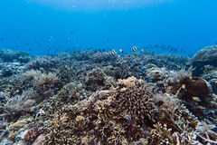 Coral gardens off Bunaken island Royalty Free Stock Photo