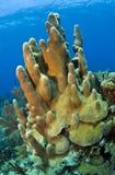 Coral gardens  pillar coral. Underwater Coral gardens off the coast of Roatan Honduras Stock Image