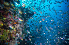 Coral and glass fish in the Red Sea.Egypt Stock Photography