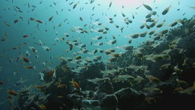 Coral and glass fish in the Red Sea.Egypt stock video