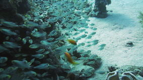 Coral and glass fish in the Red Sea.Egypt. A bunch of glass-fish, met in the clear waters of Sharm el Sheikh Red Sea stock video