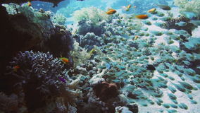 Coral and glass fish in the Red Sea.Egypt. A bunch of glass-fish, met in the clear waters of Sharm el Sheikh Red Sea stock footage