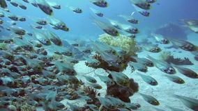 Coral and glass fish in the Red Sea.Egypt. A bunch of glass-fish, met in the clear waters of Sharm el Sheikh Red Sea stock video footage