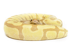 Coral Glow Enchi Bald Python Stock Photos