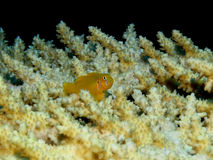 Coral Goby Royalty Free Stock Photos