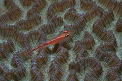 Coral goby. On brain coral Stock Images