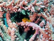 Coral Goby cedrata sul corallo del Acropora del maschio Fotografia Stock Libera da Diritti