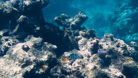 Coral in the Great Barrier Reef in Australia Stock Images