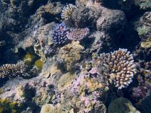 Coral in the Great Barrier Reef in Australia Stock Image